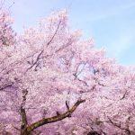 三ツ池公園の桜まつり2017開花情報と混雑や屋台は?