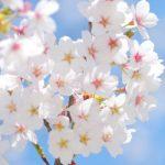 横浜三渓園『観桜の夕べ』ライトアップ2017桜の見頃や開花情報